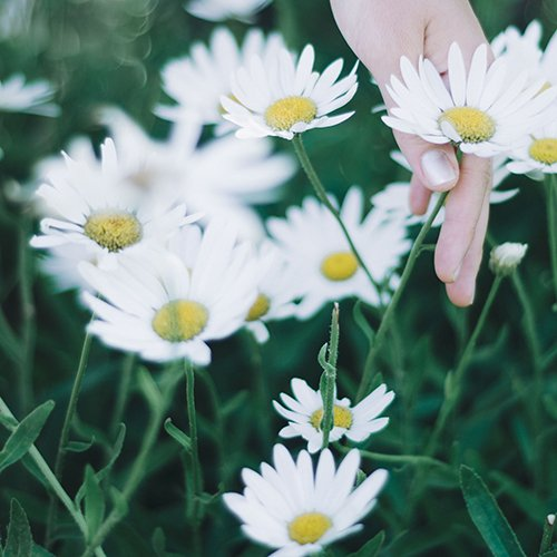 A hand picking a daisy in a field of daisies